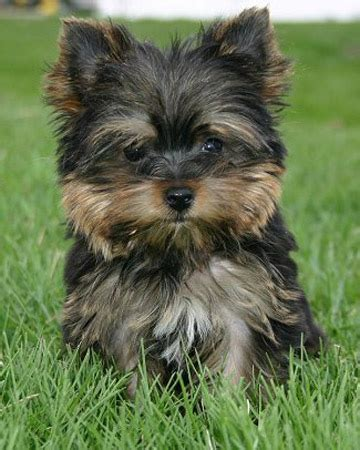 half yorkie half chihuahua puppies mixed puppy picture