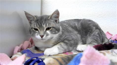 grey and white peewee grey and white hair tabby kitten for