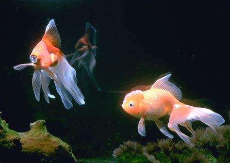 Fish Tank Aquascape The Goldfish Sanctuary Advanced Goldfish Care