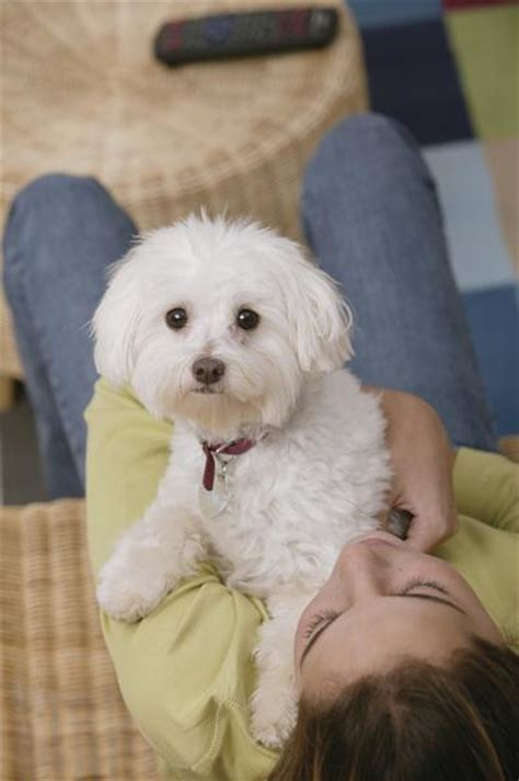 how to give a bichon a puppy cut bichon poo bichon poodle mix info puppies pictures