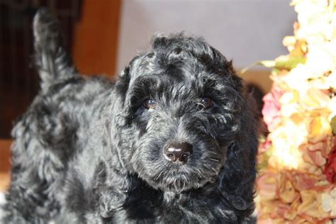 black labradoodle puppies for sale upcoming litters at fernridge labradoodles