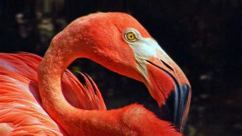 flamingo face close  hd wallpapers full screen