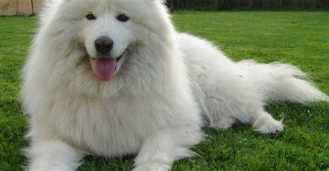 il labrador un da appartamento cani da compagnia razze carattere e prezzi greenstyle