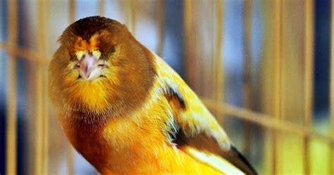 Mengatasi Masalah Penangkaran Kenari H972 budidaya burung mengatasi masalah kegemukan pada kenari