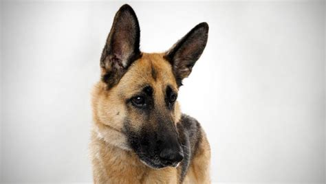 types of german shepherds different types of german shepherd dogs quotes