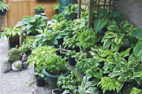 japanse tuin planten kopen het plaatsen en schikken van hosta s in de tuin hosta