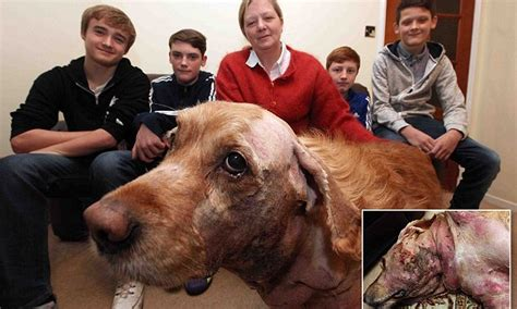 golden retriever attacks child golden retriever attacked by stray staffordshire bull terrier daily mail