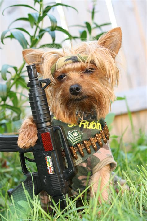 yorkie bobblehead rambo starring sarg rubin box office hit explored