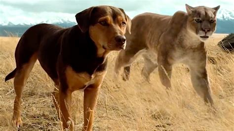 508763 a dog s way home a dog s way home official trailer big movie trailers