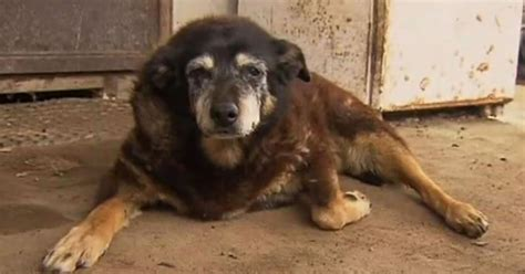 how is the world s oldest world s oldest maggie the kelpie dies aged 30