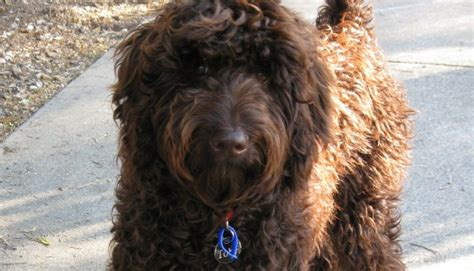 mini labradoodles wiki miniature labradoodle breed information and pictures