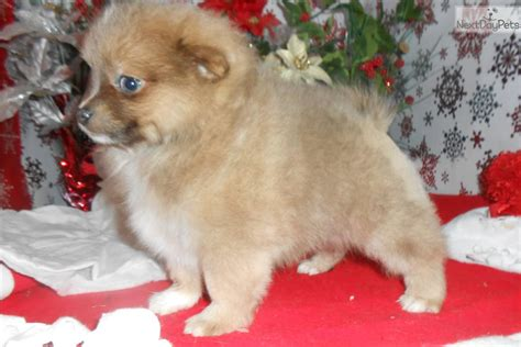 pomeranian puppies for sale in illinois pomeranian puppy for sale near chicago illinois 1e6fad38 5731
