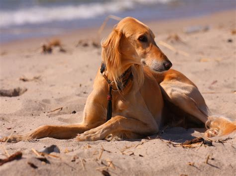 sand puppy saluki on the sand photo and wallpaper beautiful saluki on the sand pictures