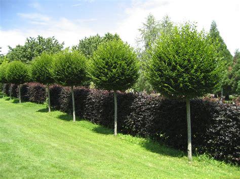 bäume als sichtschutz 2261 spalierb 228 ume als sichtschutz einzigartige ideen