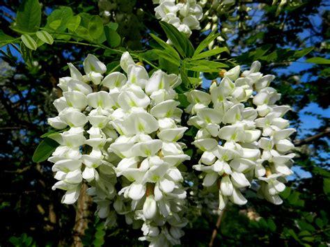 fiori acacia bellezza e profumo di fiori d acacia la toscana