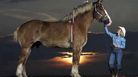 Gr Te Pferd Der Welt das gr 246 223 te pferd der welt wie gross wie schwer wie