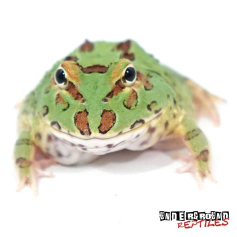 green pacman frogs for sale underground reptiles