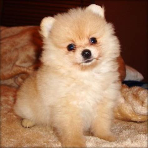 miniature teddy pomeranian puppies 17 best images about teacup pomeranian different colors on micro teacup