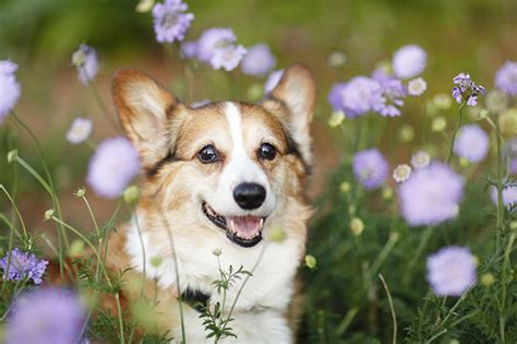 how much should a 10 week puppy eat how much should a 10 week corgi weight loss daposts