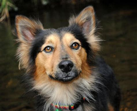 german shepherd corgi mix puppies for sale corgi german shepherd mix characteristics appearance and pictures