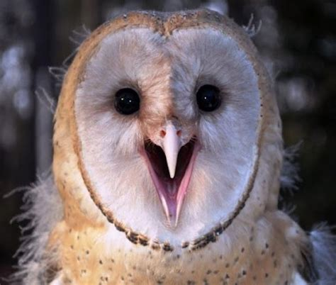 talking owl owlies and crows pinterest