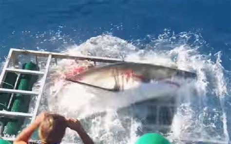 gabbia squali squalo bianco entra nella gabbia sub paura a