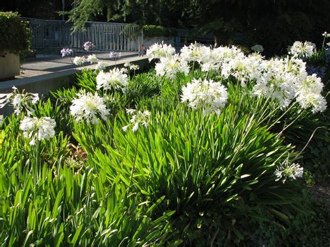 flowers land white agapanthus