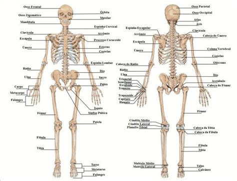 pelvis esqueleto humano frente cibertareas esqueleto humano im 225 genes para dibujar pinterest