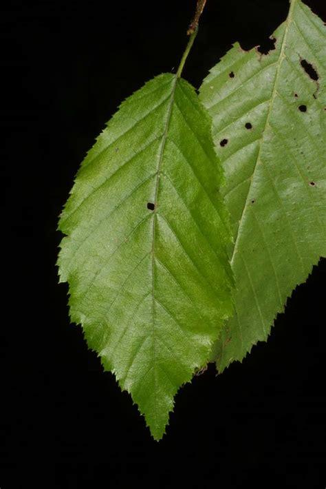 Lf Lq Sabrina Flower carpinus caroliniana betulaceae leaf whole surface
