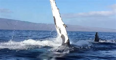 whale boat video humpback rams whale watching boat video shows moment