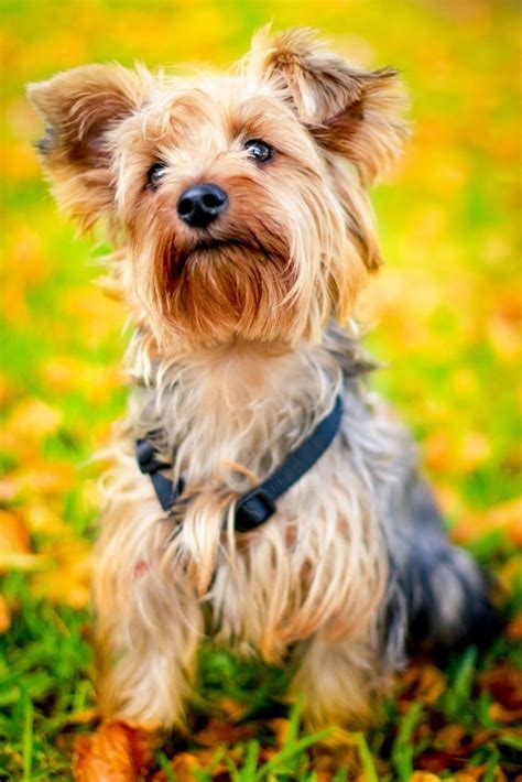 best food for yorkie puppies best food for yorkies how to feed terrier