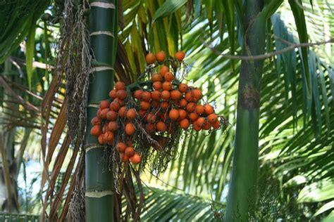 Pinang Muda 2 caraka purwo wibisono mengenal manfaat dan khasiat buah pinang