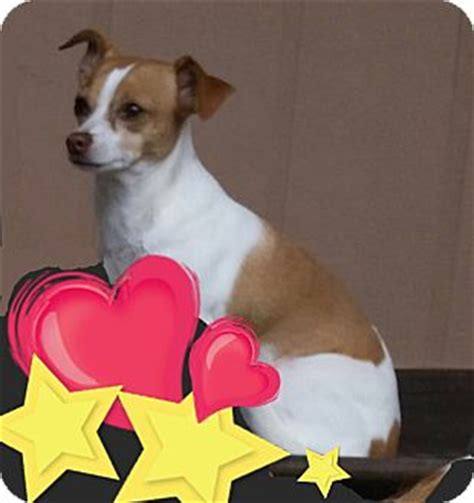 puppies for adoption indianapolis indianapolis in chihuahua terrier unknown type small mix meet princess a