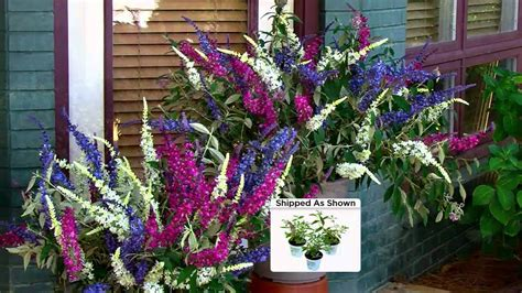 multi colored butterfly bush cottage farms 3 pc flutterby multi color 3 in 1 butterfly
