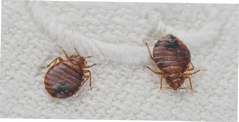 scabies or bed bugs scabies bug size www pixshark com images galleries