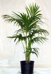 Foliage House Plants Identification - kentia palm grow master heatherton