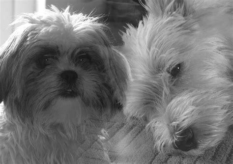westie shih tzu 9 best ideas about shih tzu westie on white terrier puppys and magic ring