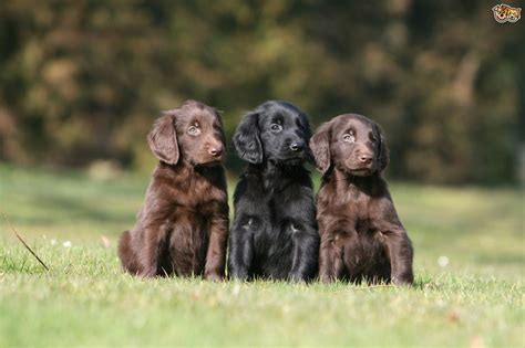flat coated retriever puppy flat coated retriever breed information buying advice photos and facts pets4homes