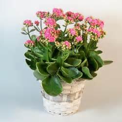 kalanchoe plant bethany florist