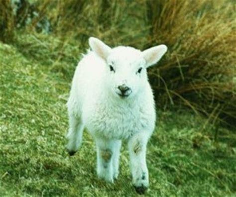 Bibit Kambing Domba bibit domba