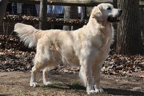 golden retrievers in carolina golden retriever puppies carolina auregrande