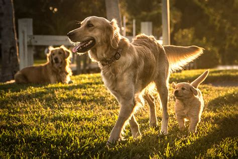 neutering dogs neutering a the pros and cons