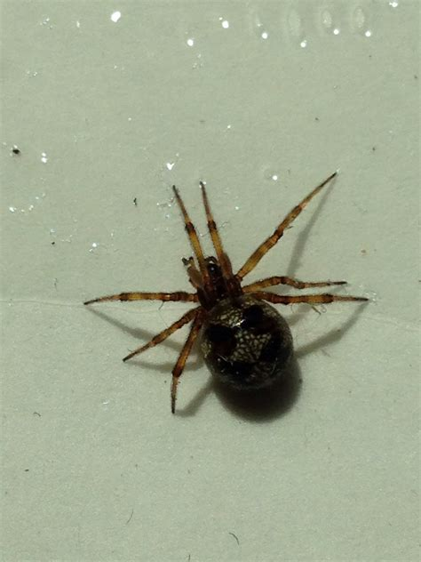 what of spider is this i found a of them