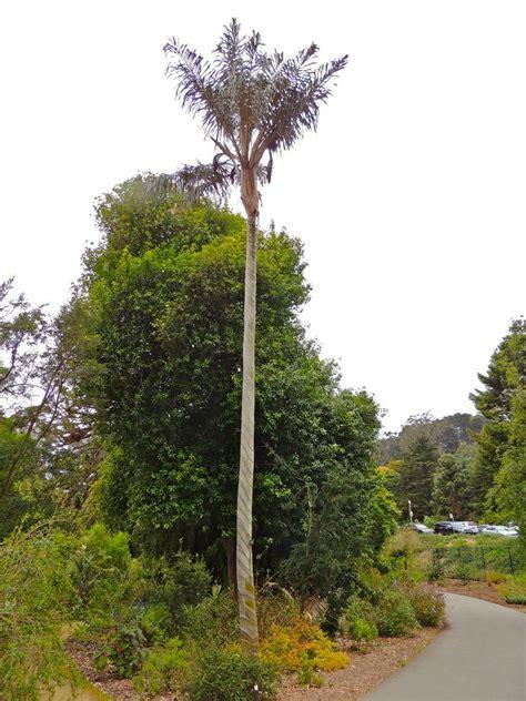Plantfiles Pictures Vogel S Wax Palm Ceroxylon Botanical Garden Golden Gate Park