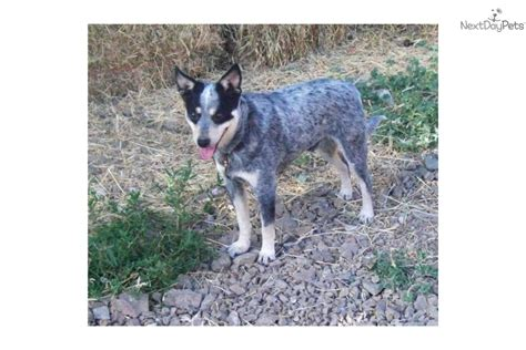 miniature blue heeler puppies for sale near me australian cattle blue heeler puppy for sale near bend oregon faa5dc26 2071