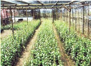 Budidaya Vanili Tahan Busuk Batang pupuk organik hayati pestisida organik teknologi biofob