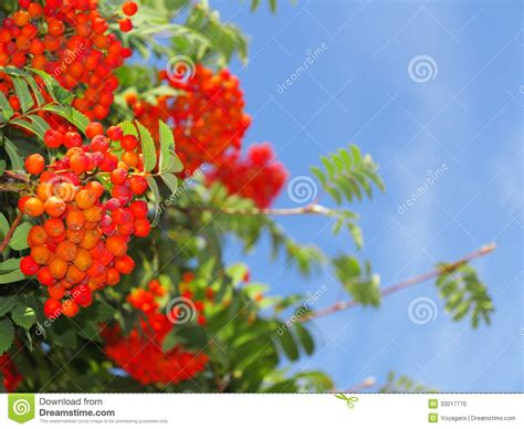 autumn rowan berries ashberry sorbus aucuparia stock