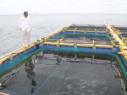Bibit Ikan Bawal Bintang ratusan bibit ikan dibagikan ke nelayan pulau seribu