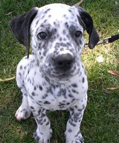 yorkie dalmation mix 1000 images about mixed breed dogs pups on rat terriers mixed