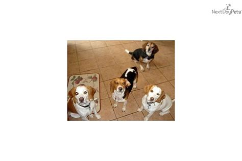 free puppies in western mass puppies for sale from caninekids nextdaypets